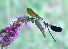 Dragonfly Calopteryx splendens (pair) Royalty Free Stock Photography