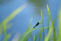 Dragonfly Calopteryx splendens Stock Photography