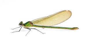 Dragonfly Calopteryx syriaca (female) Royalty Free Stock Image