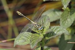 Dragonfly in camargue Royalty Free Stock Photos