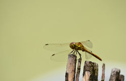 Dragonfly in camouflage on wood Royalty Free Stock Photography
