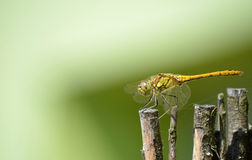 Dragonfly in camouflage on wood Royalty Free Stock Photos