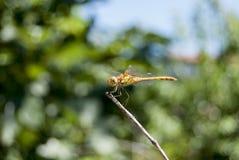 Dragonfly (cancellatum Sympetrum) 10 Стоковое Изображение