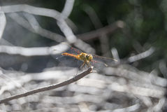 Dragonfly (cancellatum Sympetrum) 17 Стоковое Фото