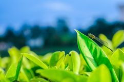 Dragonfly catching on a green leaf royalty free stock image