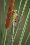 Dragonfly and cattail Royalty Free Stock Photography