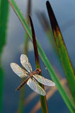 Dragonfly on Cattail Leaves. Dragonfly with shiny wings perching on Cattail leaves royalty free stock image