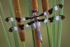 Dragonfly on cattails Stock Photography