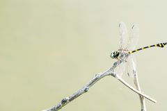 Dragonfly caught on a branch above the water surface. Stock Photos