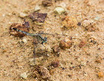 Dragonfly caught on a rock Royalty Free Stock Photos
