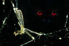Dragonfly in spider web. Dragonfly caught in spider web with red eye staring, end of the freedom Stock Photography