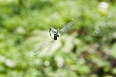 Dragonfly caught Web Royalty Free Stock Photo