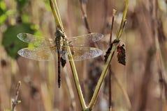 dragonfly cesarz Zdjęcie Royalty Free