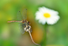Dragonfly and chamomile Stock Photography