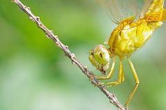 Dragonfly chewing the prey Royalty Free Stock Image