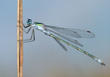 Dragonfly close Stock Image