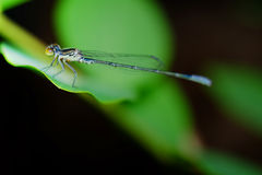Dragonfly. Close on the leaf Royalty Free Stock Image