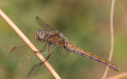 Dragonfly close portrait Royalty Free Stock Photo