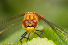 Dragonfly close-up Royalty Free Stock Photo