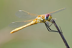 Dragonfly close up. Dragonfly in spring onto a twig Royalty Free Stock Photography