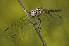 Free Dragonfly Close-up Royalty Free Stock Photography - 15103017