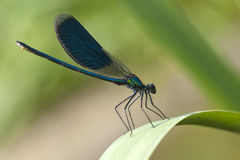 Dragonfly close-up Royalty Free Stock Photography
