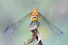 Dragonfly close-up Stock Images