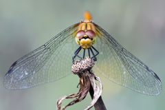 Dragonfly close-up Royalty Free Stock Image