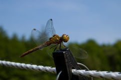 Dragonfly close up Stock Image