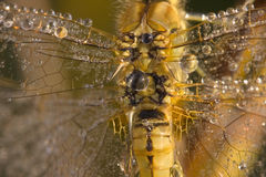 Dragonfly close up royalty free stock image