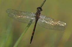 Dragonfly close-up Royalty Free Stock Photos
