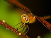 Dragonfly close up. With a dark and green background Stock Image
