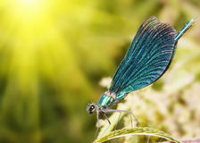 Dragonfly Close-up. Royalty Free Stock Photos