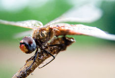 Dragonfly. Close up of a dragonfly cleaning its eyes Stock Image