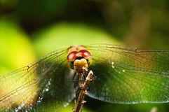 Dragonfly. Close up with a dark and green blurred background Stock Images
