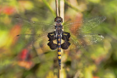 Dragonfly Close Up. A dragonflies wing spread captured while resting, showing delicate wing patterns Stock Image