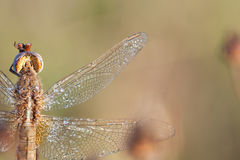 Dragonfly in close up Stock Image