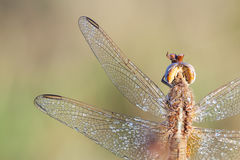Dragonfly in close up Royalty Free Stock Photos