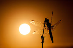 Dragonfly in close up Royalty Free Stock Images