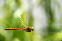 Dragonfly close-up in flight. Simpetrum Dragonfly close-up in flight Stock Photography