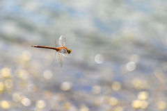 Dragonfly close up flying over the water Royalty Free Stock Images