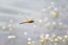 Dragonfly close-up flying over water Stock Photography