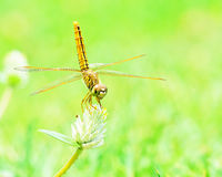 Dragonfly Royalty Free Stock Images