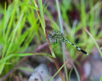 Dragonfly close up. Royalty Free Stock Photos