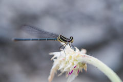 Dragonfly close up holding still on stalk Stock Image