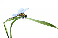 Dragonfly close up isolated on white Stock Photos