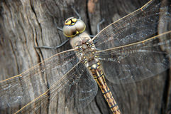 Dragonfly close up. Royalty Free Stock Photography