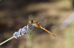 Dragonfly. Close up of a dragonfly on a lavender flower Stock Photos