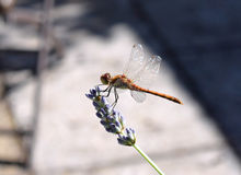Dragonfly. Close up of a dragonfly on a lavender flower Royalty Free Stock Photography