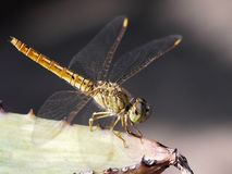 Dragonfly. Close up on the leaf Royalty Free Stock Photography